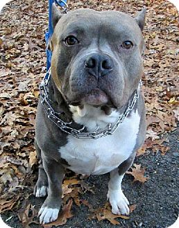 American Staffordshire Terrier Dog for adoption in Staten Island, New York - Capone *Purebred UKC Registered*