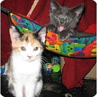Adopt A Pet :: Susie and Sunny Kittens - Cincinnati, OH
