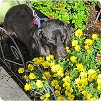 Adopt A Pet :: SHATZIE - Portland, OR