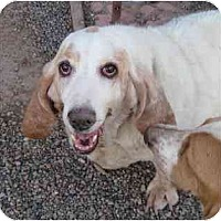 Adopt A Pet :: Sandy - Albuquerque, NM