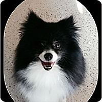 Pomeranian Dog for adoption in Harrisburg, Pennsylvania - Truffle