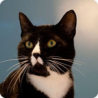 Domestic Shorthair Cat for adoption in Knoxville, Tennessee - Noah