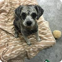 Adopt A Pet :: 'MORK' - Agoura Hills, CA