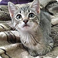 Adopt A Pet :: Ozzie - St. Louis, MO