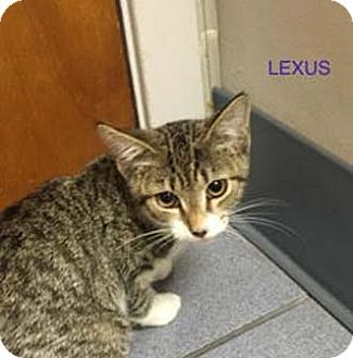 Domestic Shorthair Kitten for adoption in Merrifield, Virginia - Lexus