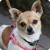 Adopt A Pet :: Tulip - Pacific Grove, CA