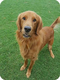Golden Retriever Dog for adoption in Denton, Texas - Iverson