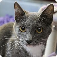 Domestic Shorthair Cat for adoption in Sarasota, Florida - Penelope