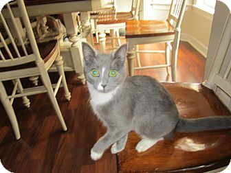 Domestic Shorthair Kitten for adoption in Youngsville, North Carolina - Lucky