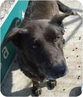 Labrador Retriever/Shepherd (Unknown Type) Mix Dog for adoption in Fowler, California - Peggy Sue