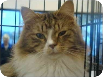 Domestic Longhair Cat for adoption in Muncie, Indiana - Cinderfella