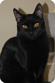 Domestic Shorthair Cat for adoption in Philadelphia, Pennsylvania - Almond