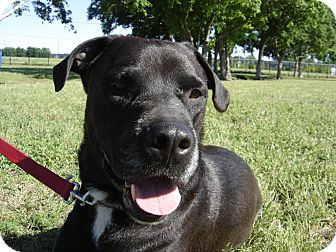 Labrador Retriever/Great Dane Mix Dog for adoption in Houston, Texas - Pappa