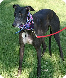 "Greyhound Dog for adoption in Smyrna, Tennessee - Starz Aftershock ""Taylor"""