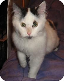 Domestic Mediumhair Cat for adoption in Sterling Hgts, Michigan - Gato