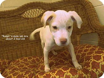 Labrador Retriever Mix Puppy for adoption in Gadsden, Alabama - Ralphie