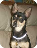 Miniature Pinscher Dog for adoption in Syracuse, New York - Cookie