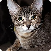 Adopt A Pet :: Gimlet - Chicago, IL