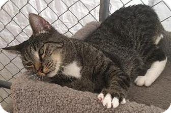 Domestic Shorthair Kitten for adoption in Westminster, California - Camey