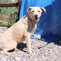Labrador Retriever Dog for adoption in Golden Valley, Arizona - Topeka