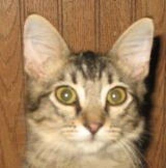 Domestic Mediumhair Cat for adoption in Grand Saline, Texas - Link