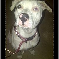 Adopt A Pet :: Valintine - west hollywood, CA