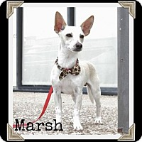 Adopt A Pet :: Marsh - Arlington, TX