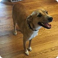 Adopt A Pet :: Soda - St. Charles, MO