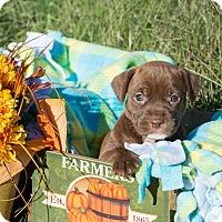 Adopt A Pet :: Hershey $250 - Seneca, SC