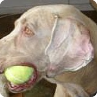Weimaraner Dog for adoption in Sun Valley, California - Mambo