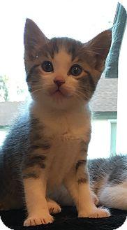 Domestic Shorthair Kitten for adoption in Anaheim Hills, California - Alvin