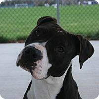Adopt A Pet :: Sage - Toms River, NJ