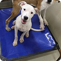 Pit Bull Terrier Mix Dog for adoption in Odessa, Texas - A16 LARRY
