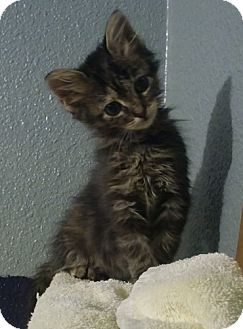 Domestic Longhair Kitten for adoption in Dallas, Texas - PRIZE