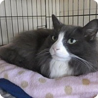 Domestic Longhair Cat for adoption in The Dalles, Oregon - Bitsy