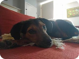 Beagle Mix Dog for adoption in Media, Pennsylvania - Hermione