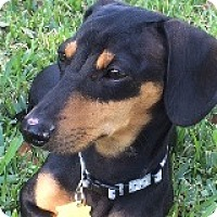 Adopt A Pet :: Lucy Lakeland - Houston, TX