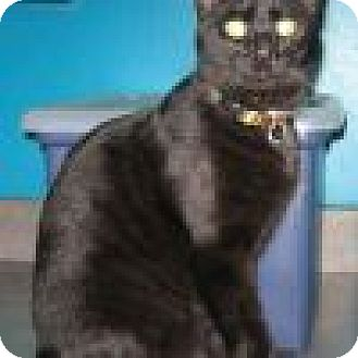 Domestic Shorthair Cat for adoption in Powell, Ohio - Neo