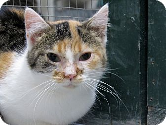 Calico Kitten for adoption in Grinnell, Iowa - Wendy