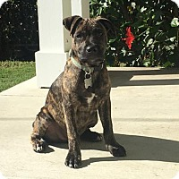 Pit Bull Terrier Mix Puppy for adoption in San Diego, California - Forrest