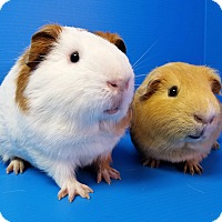 Adopt A Pet :: Picard and Riker - Lewisville, TX