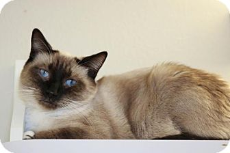 Domestic Shorthair Cat for adoption in Boise, Idaho - Bootsy