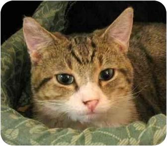 Domestic Shorthair Cat for adoption in Plainville, Massachusetts - Valley Boy