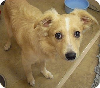 Border Collie Mix Puppy for adoption in Wickenburg, Arizona - Winston