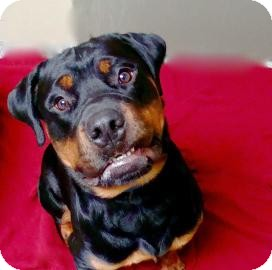 Rottweiler Dog for adoption in Jackson, Michigan - Haus