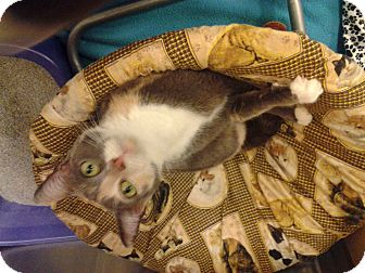Calico Cat for adoption in Chesapeake, Virginia - Callie