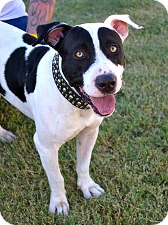 ... | Adopted Dog | Phoenix, AZ | American Pit Bull Terrier/Pointer Mix