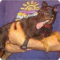 Adopt A Pet :: Kojo - Florissant, MO