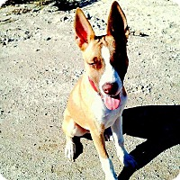 Adopt A Pet :: Quinn - Surprise, AZ