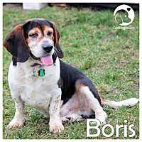 Adopt A Pet :: Boris - Novi, MI